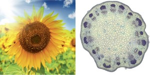 Sunflower in field and sunflower (Helianthus) stem cross section under a microscope