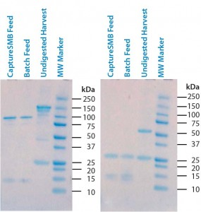 Figure 3: Sodium-dodecyl sulfate polyacrylamide gel electrophoresis (SDS-PAGE) of undigested supernatant and two batches of digested supernatant; (left) nonreducing conditions; (right) reducing conditions