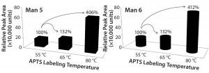 Figure 3: Significant effect of temperature on labeling high mannose: (left) Man5 and (right) Man6