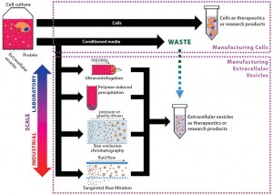 Figure 2: From byproduct to product — extracellular vesicle manufacturing; EVs are constitutively secreted by cells, and current isolation methods are presented herein. In most cell manufacturing processes, spent media are simply discarded. If cell manufacturers divert that effluent, adopt EV manufacturing processes, and scale up EV production, they could facilitate standardization in the field. EVs produced could be sold initially as research products, then potentially as therapeutics in the long term.