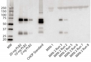 Figure 3: Immunoblot using rabbit polyclonal antisera to PLBL2; (left to right) the lanes correspond to MW standards, a PLBL2 standard at three different protein concentrations, the CHOP standard, MAb 1, and six lots of MAb 2. The first two of those six represent MAb 2 prepared before the protocol was optimized, and the last four came after changes made to reduce PLBL2 levels.