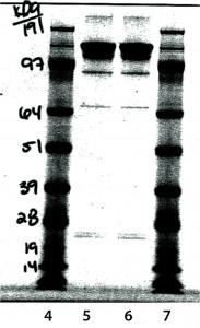 Figure 8: Nonreduced sodium-dodecyl sulfate polyacrylamide gel electrophoresis (SDS-PAGE)