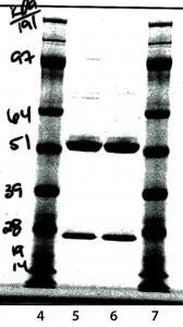 Figure 9: Reduced sodium-dodecyl sulfate polyacrylamide gel electrophoresis (SDS-PAGE)