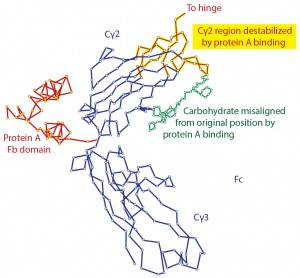 Figure 1: Denaturation of IgG by contact with protein A as shown by X-ray crystallography; modified from (11, 12)