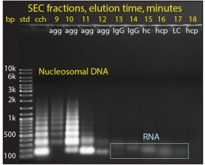 Figure 6: The size distribution of nucleosomal DNA in cell culture harvest