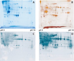 Figure 1: (a) Two-dimensional (2D) sodium-dodecyl sulfate polyacrylamide gel electrophoresis (SDSPAGE) total protein Coomassie stain of the Physcomitrella patens HCP antigen mix, 600 µg protein per gel; (b) 2D SDS-PAGE total protein silver stain of the P. patens HCP antigen mix, 300 µg protein per gel; (c) quality control testing of the total antiserum pool by 2D Western blot, 300 µg protein per gel; (d) quality control testing of the capture antibody by 2D Western blot, 300 µg protein per gel
