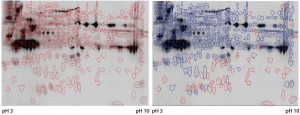 Figure 3: Cy5 and Cy3 scan of 2D fluorescence Western blot with electronic spot detection: (left) 2D fluorescence Western moss-HCP1-Cy5 image (580 detected protein spots marked red), 50 µg protein per gel; (right) moss-HCP1-Cy5 protein pattern compared with antimoss-HCP-IgG-IA-Gal immunodetection pattern detected with antirabbit-IgG-Cy3 conjugate (527 detected spots framed blue, undetected spots remain red-framed), middleintensity exportation of fluorescence scan (PMT scanning settings Cy5 525 V and Cy3 425 V).