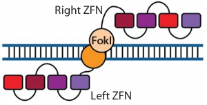 Figure 1: Zinc-finger nucleases (ZFNs) are fusions of the nonspecific DNA cleavage domain from the FokI restriction endonuclease with zinc-finger proteins. ZFN dimers induce targeted DNA double-strand breaks (DSBs) that stimulate DNA damage-response pathways. The binding specificity of the designed zincfinger domain directs the ZFN to a specific genomic site (11, 19).