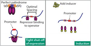 Figure 1: DNA loop formation mechanism that helps control on–off protein expression