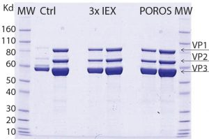 Figure 5: SDS-PAGE comparing purity of AAV9 viral vector, purified by two downstream processing methods; one is using three ionexchange (IEX) steps and the other with POROS CaptureSelect AAV9 resin as a one-step capture process. Data show that the purity profile of viral vector AAV9 is equivalent when comparing both downstream processing approaches. The gel also reveals similar purity, and the capsid viral protein (VP) topology for viral vector AAV9 is confirmed showing the bands corresponding to the viral structural proteins VP1, VP2, and VP3.