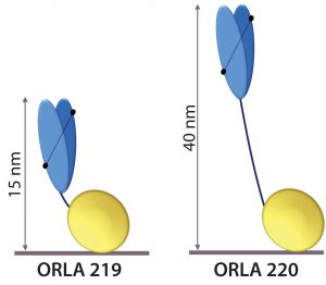 Figure 5: Schematic representation of anti-FluA-NP ScFv (blue) fused by linkers to the SBU; heights from the surface in nanometers are indicated.