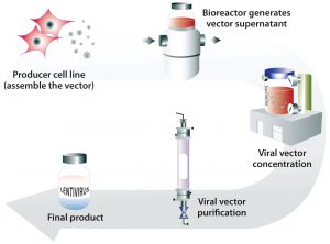 Figure 2: Generation of lentiviral vector with a stable producer cell line grown in bioreactors to generate large quantities of viral vectors that can be concentrated and purified into a final lentiviral vector product