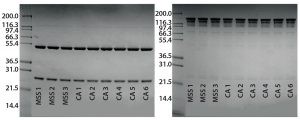 Figure 3: Reduced and nonreduced SDS-PAGE analysis of eluates from an alternative protein A affinity resin and CaptivA resin runs; (left) reduced SDS-PAGE, (right) nonreduced SDS=PAGE; MSS 1,2,3 = alternative protein A affinity resin cycles; CA1-6 = first six CaptivA resin cycles