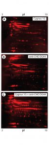 Figure 5: 2-D Western blot of BioWa CHO HCP by individual and mixed antibodies; (A) Western blot by the Cygnus 1G antibody; (B) Western blot by the anti-CHO DG44 antibody; (C) Western blot by the 1:1 mixed Cygnus 1G and anti-CHO DG44 antibodies