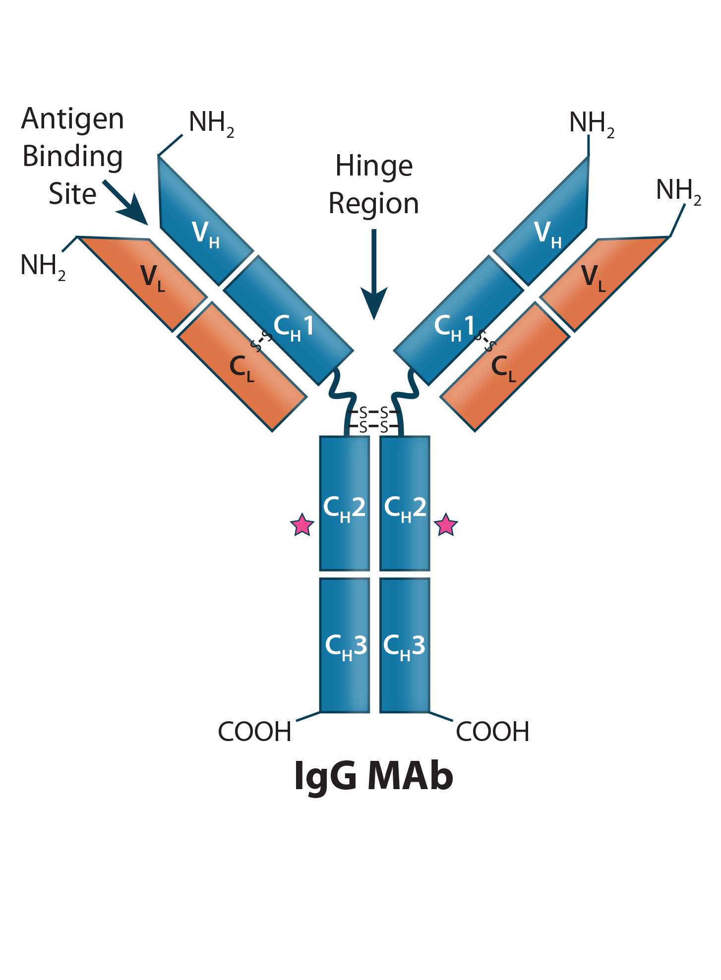 Therapeutic Igg Like Bispecific Antibodies Modular Versatility And